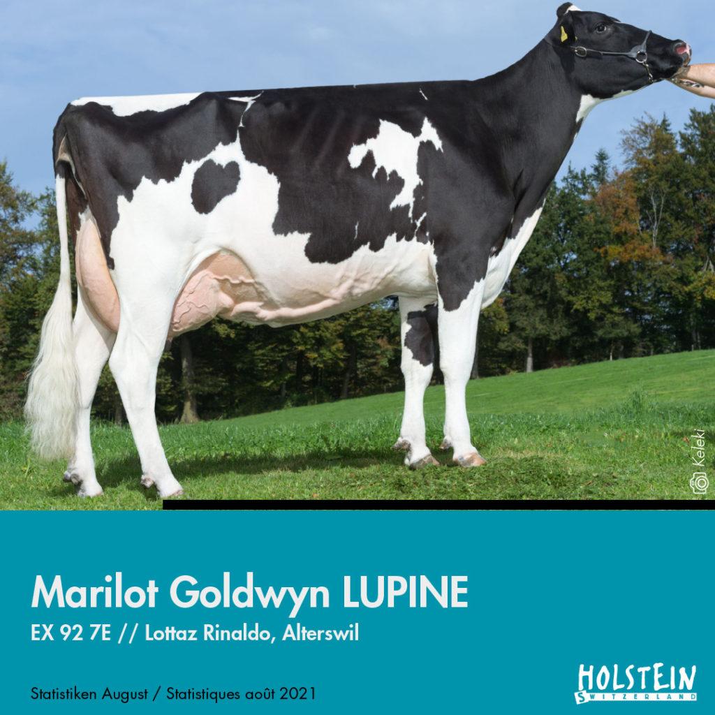 marilot-goldwin-lupine